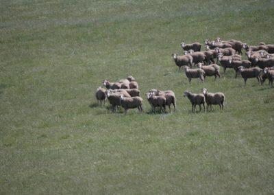 Free Range Lambs 10 062 (Large)