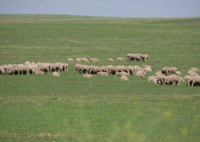 Free Range Lambs 3 054 (Large)