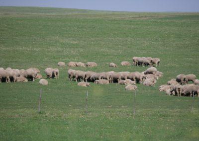 Free Range Lambs 5 056 (Large)