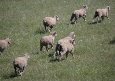 Free Range Lambs 9 061 (Large)