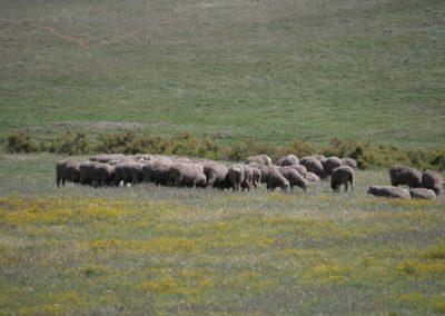Lambs 1 049 (Large)