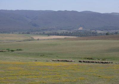 Fre Range Lambs 1 052 (Large)