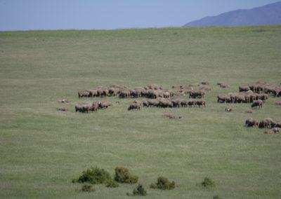 Free Range Lambs 2 053 (Large)