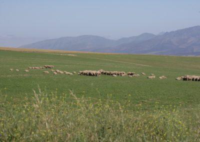 Free Range Lambs 6 057 (Large)
