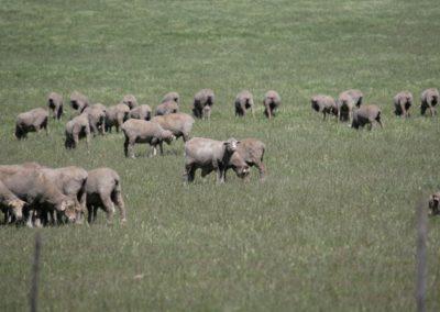 lamb close up 067 (Large)