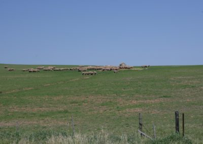 lamb feeding 1 070 (Large)
